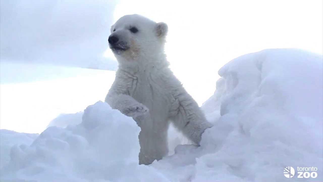 多伦多动物园北极熊节